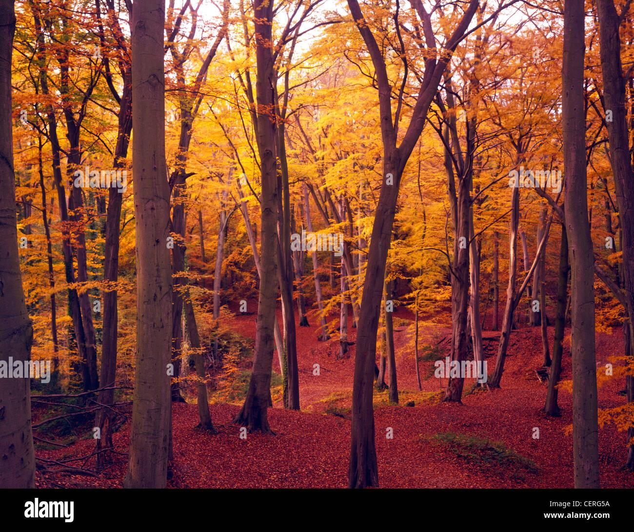 Autumn at Burnham Beeches. - Stock Image