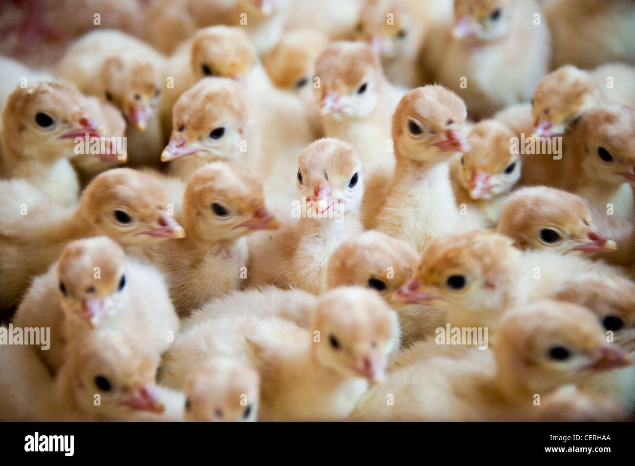 Turkey chicks - Stock Image