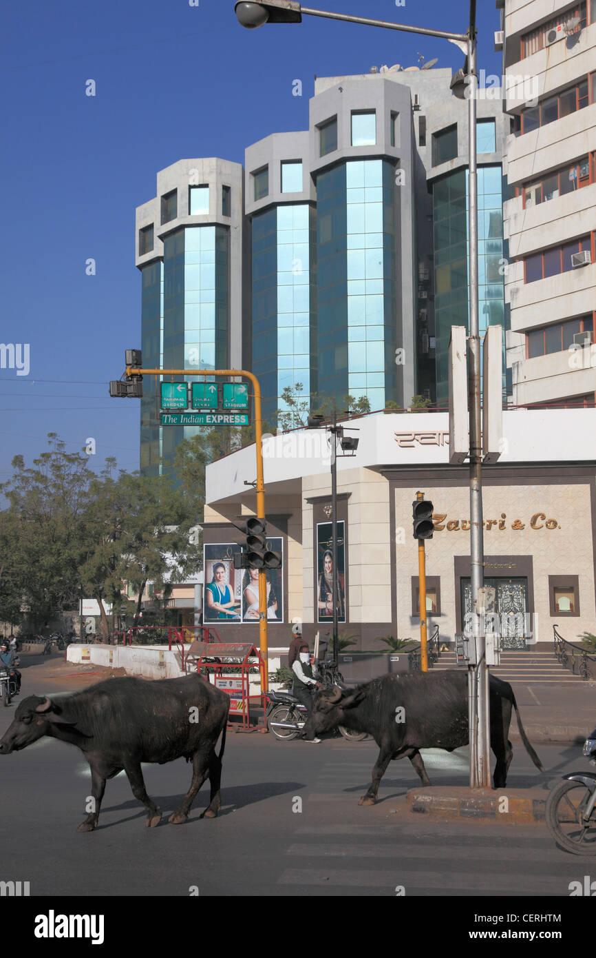 India, Gujarat, Ahmedabad, new town, modern buildings, street scene, buffaloes, - Stock Image