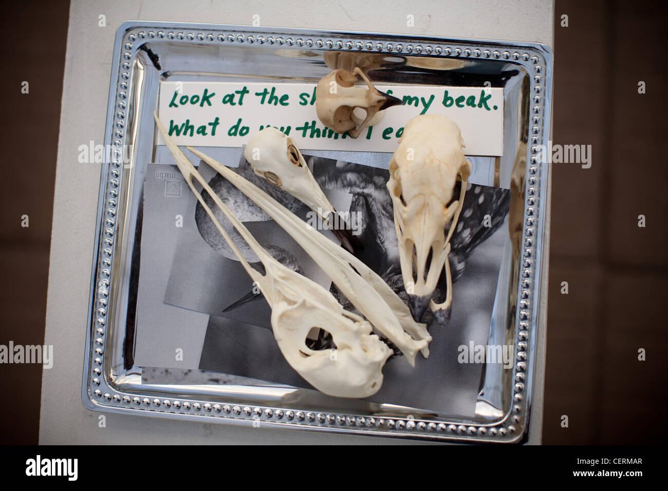 Bird skulls displayed in an elementary science classroom - Stock Image
