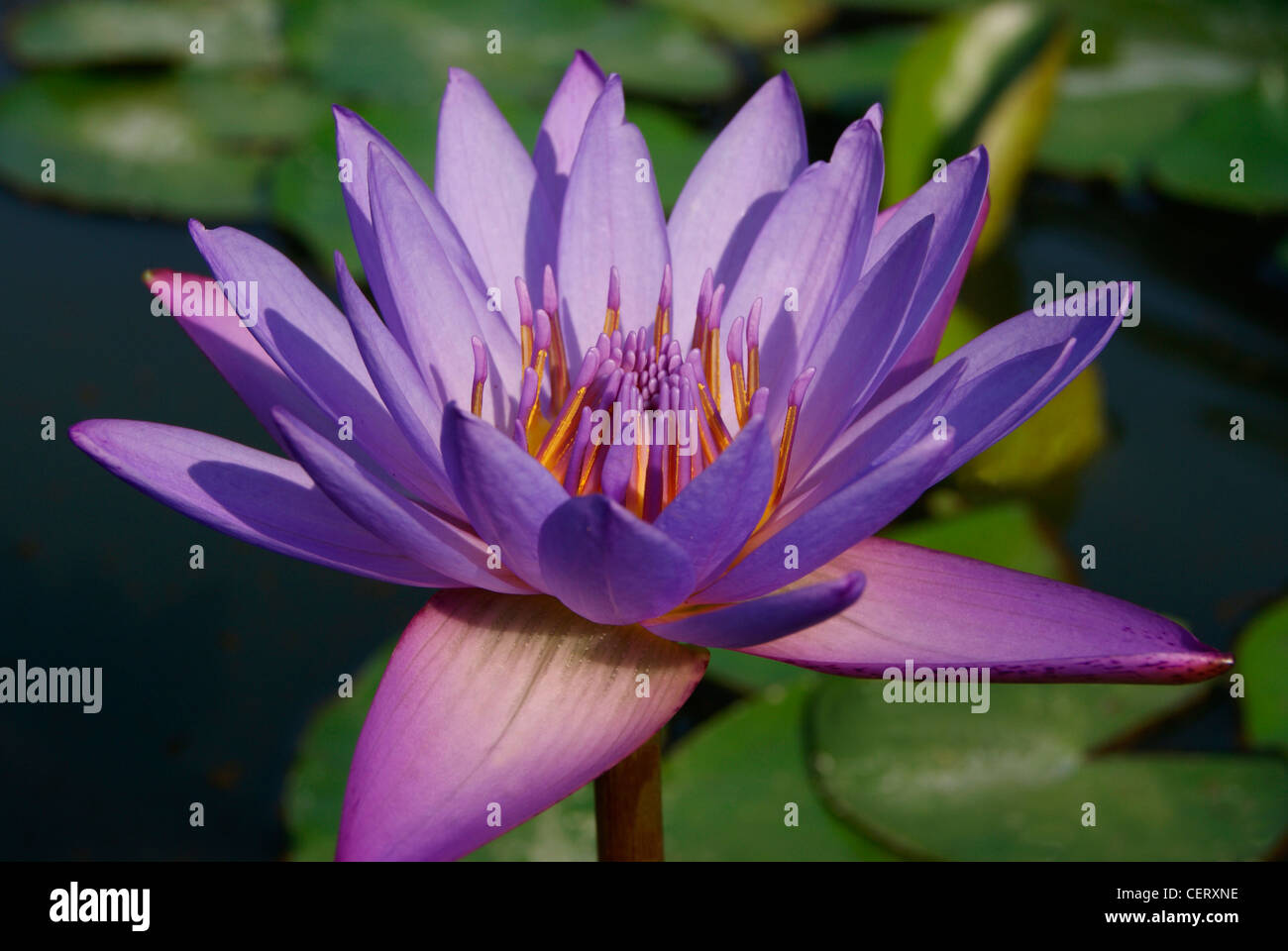 Blooming Violet Water Lotus Flower In Pond Shining In Morningde