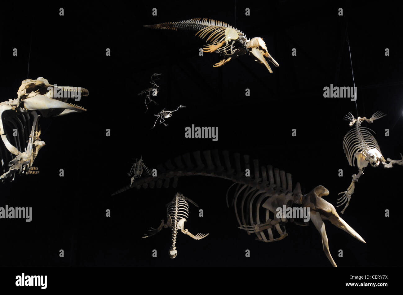 Fossil skeletons of extinct marine reptiles, mammals and birds on display in the Museum of Paleontology Egidio Feruglio, - Stock Image
