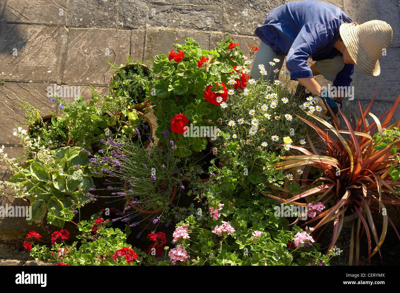 woman (model released) tending flower pots in a garden, Dorset, England, UK - Stock Image