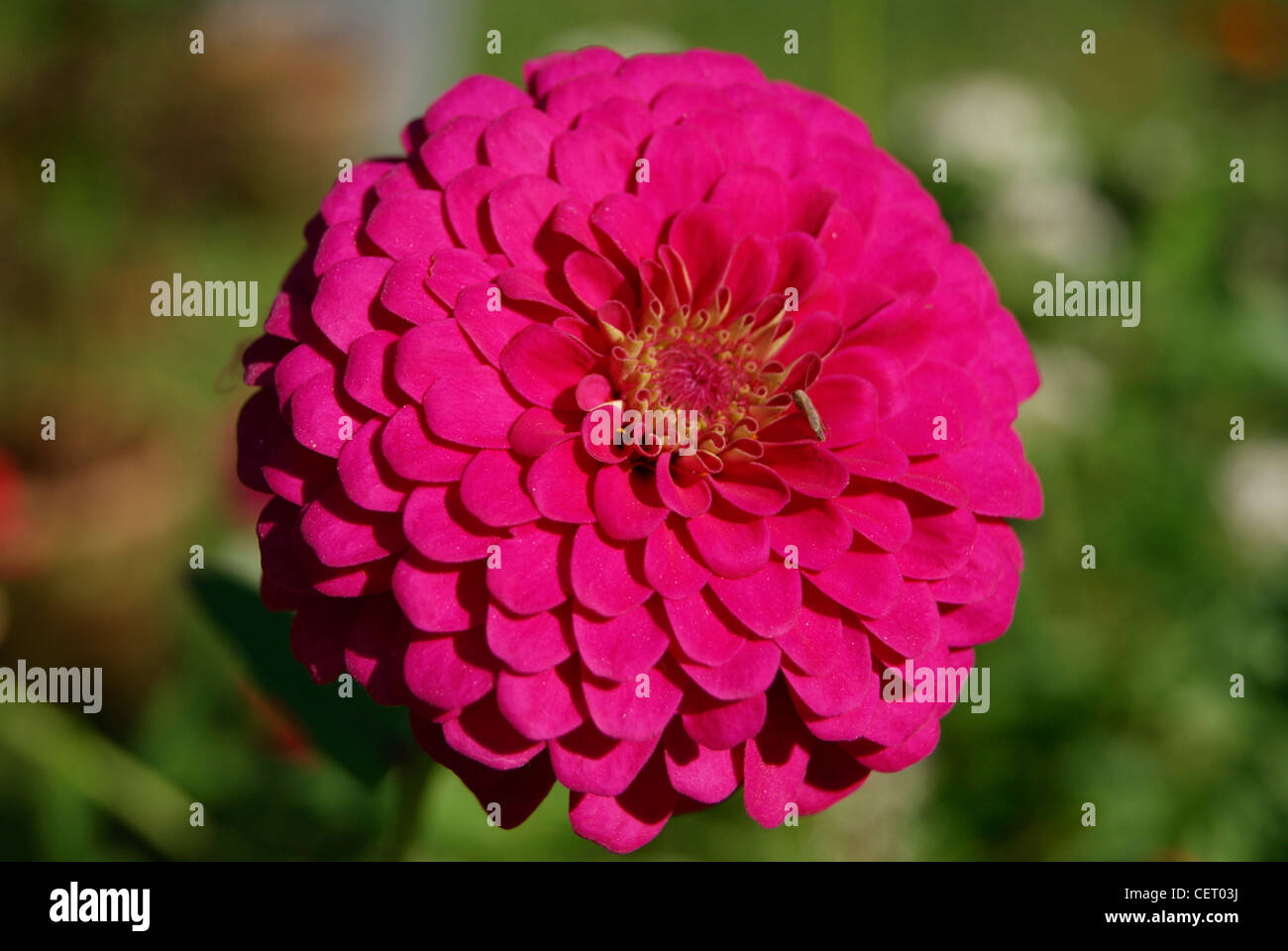 India dahlia flower stock photos india dahlia flower stock images red dahlia flower in green gardenralaindia stock image izmirmasajfo