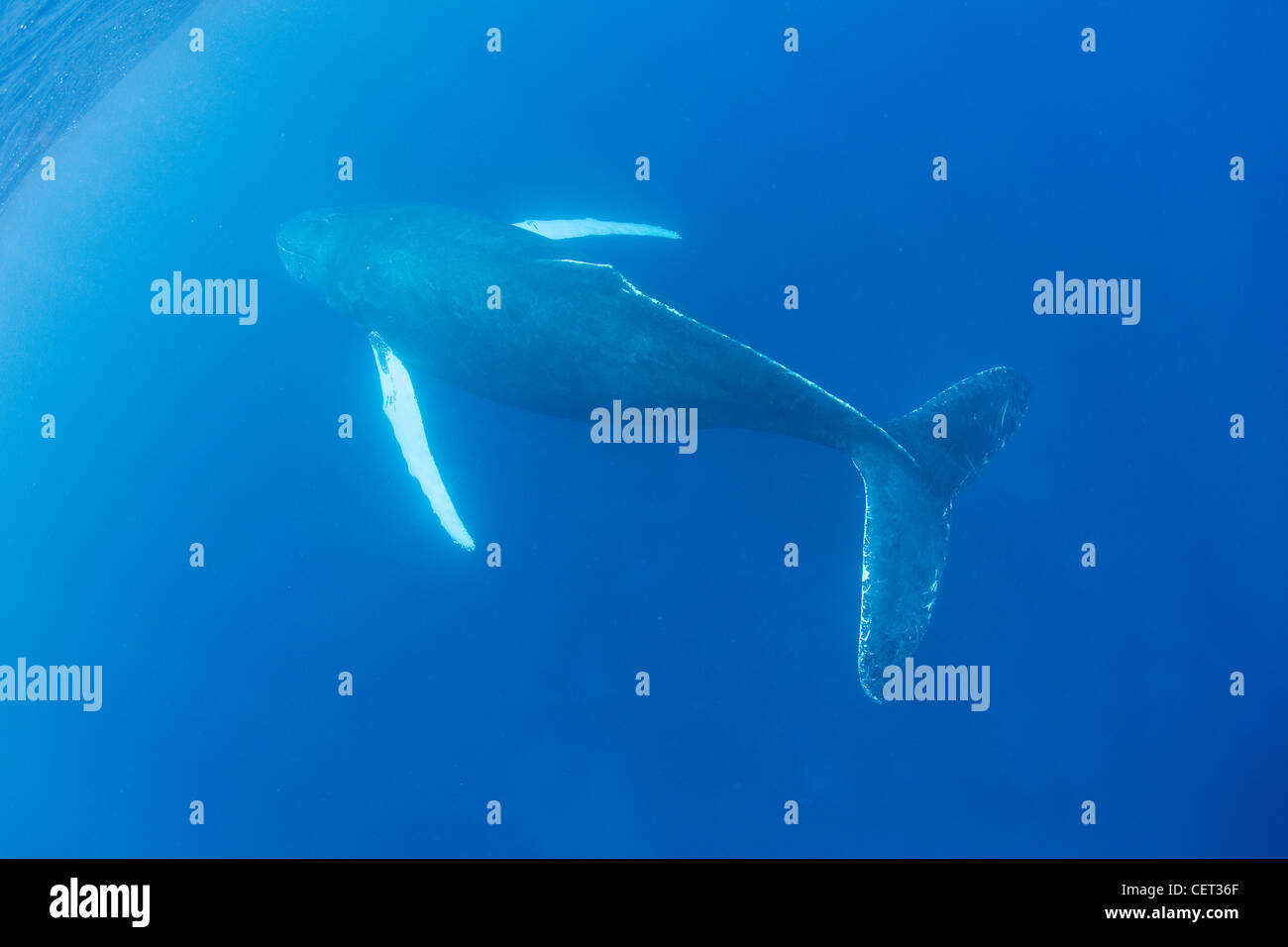 An adult Humpback whale, Megaptera novaeangliae, surfaces to breathe. Adults normally breathe every 15 to 20 minutes. Stock Photo