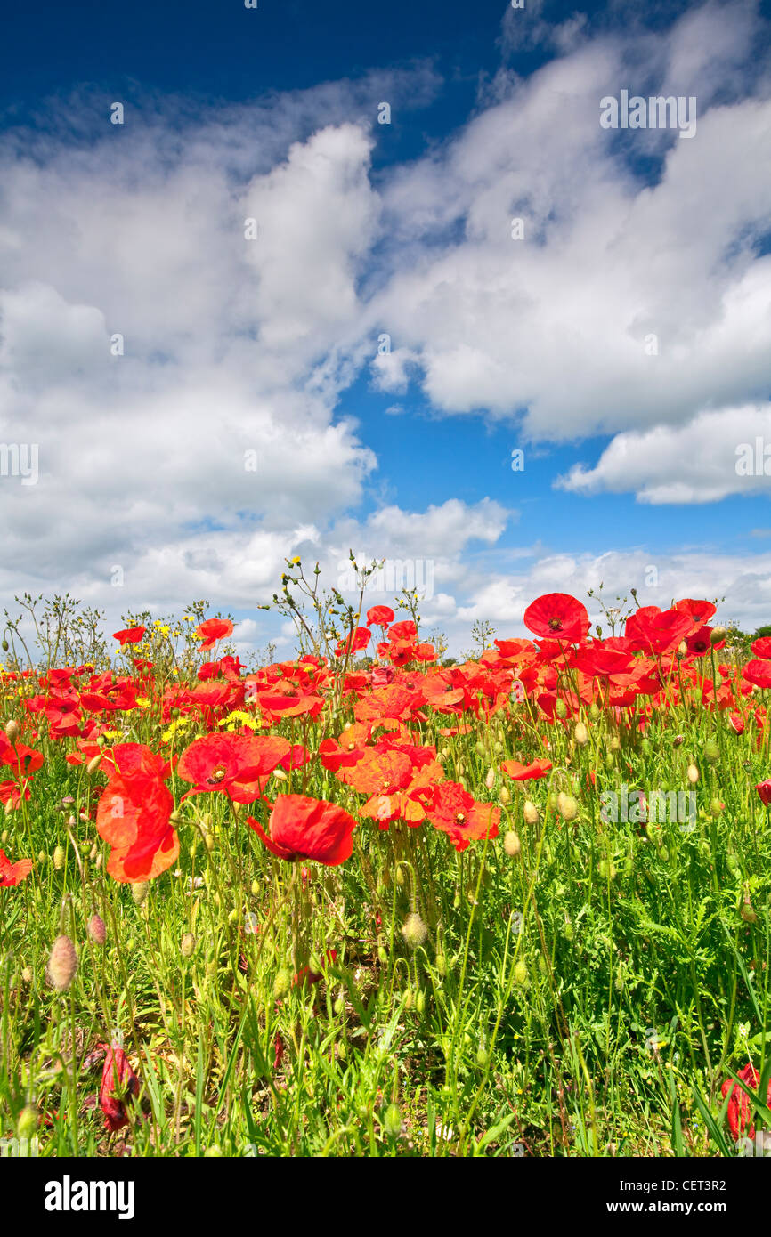 Poppies growing in a field near Castle Acre in the Norfolk countryside in summer. - Stock Image