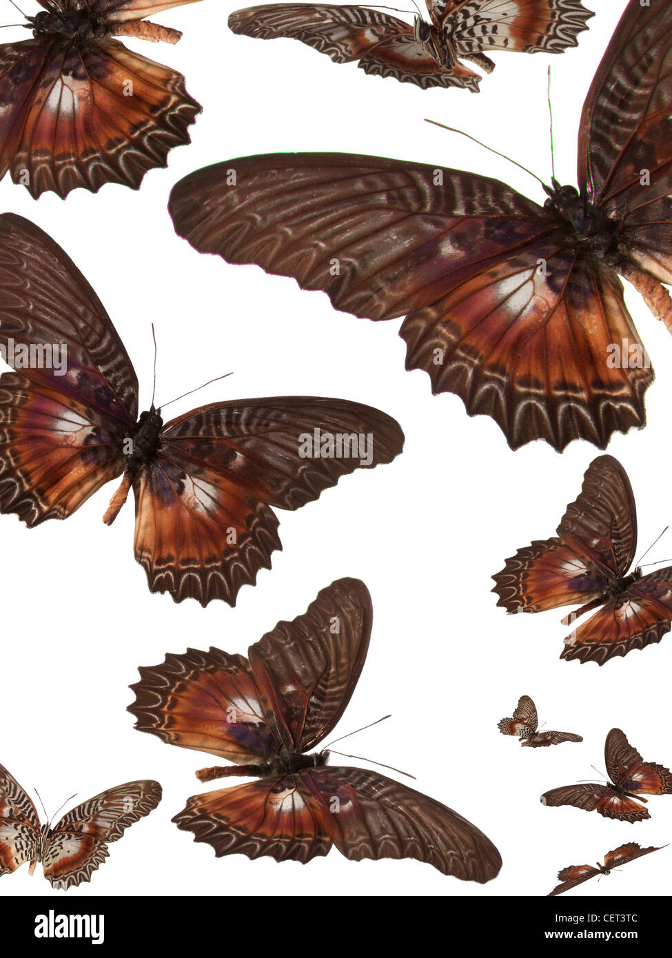 Cethosia myrina myrina. Is a butterfly of the Nymphalidae family. It is found on Sulawesi.  The wingspan  is about - Stock Image