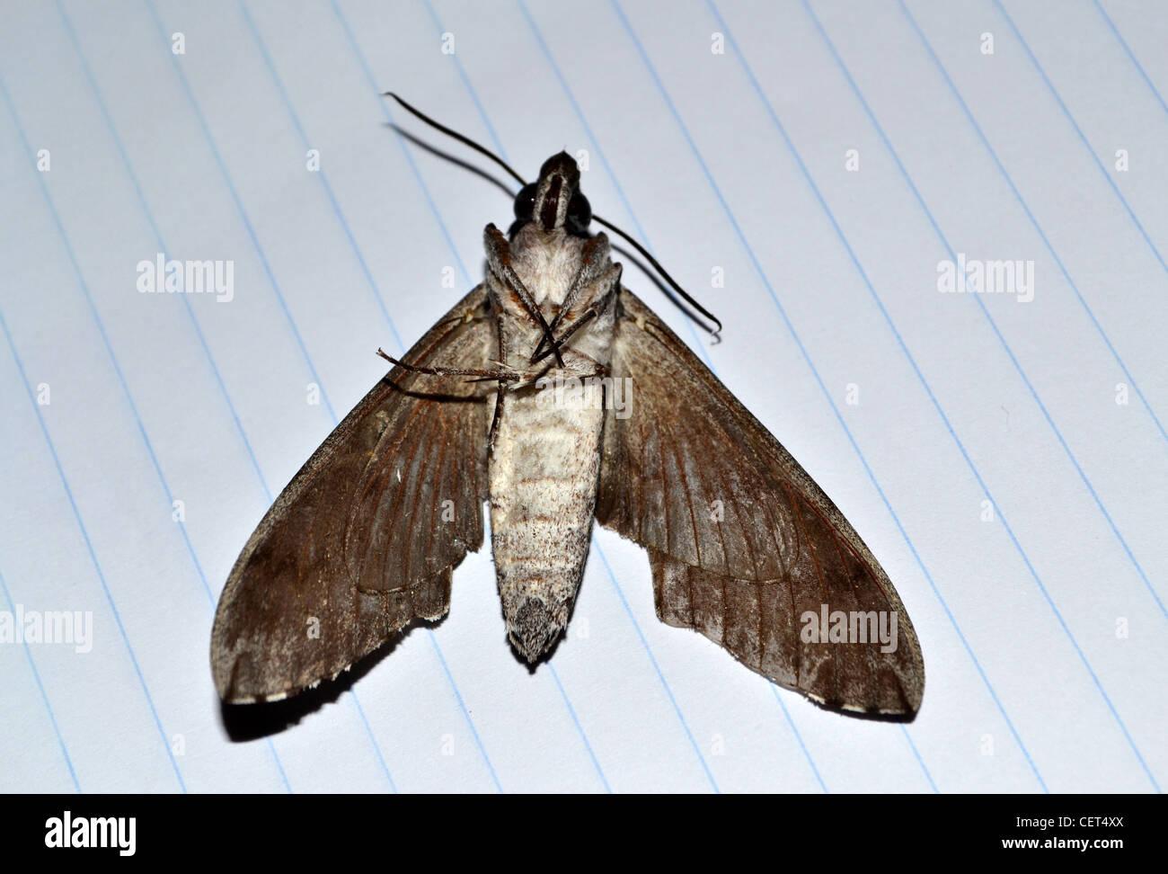 Dead Moth - Stock Image