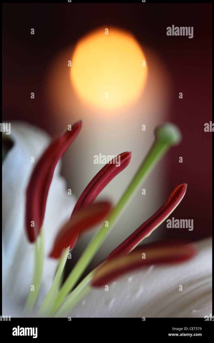 Close up image of a white lily with red stamens and pistil and candle light in background Stock Photo