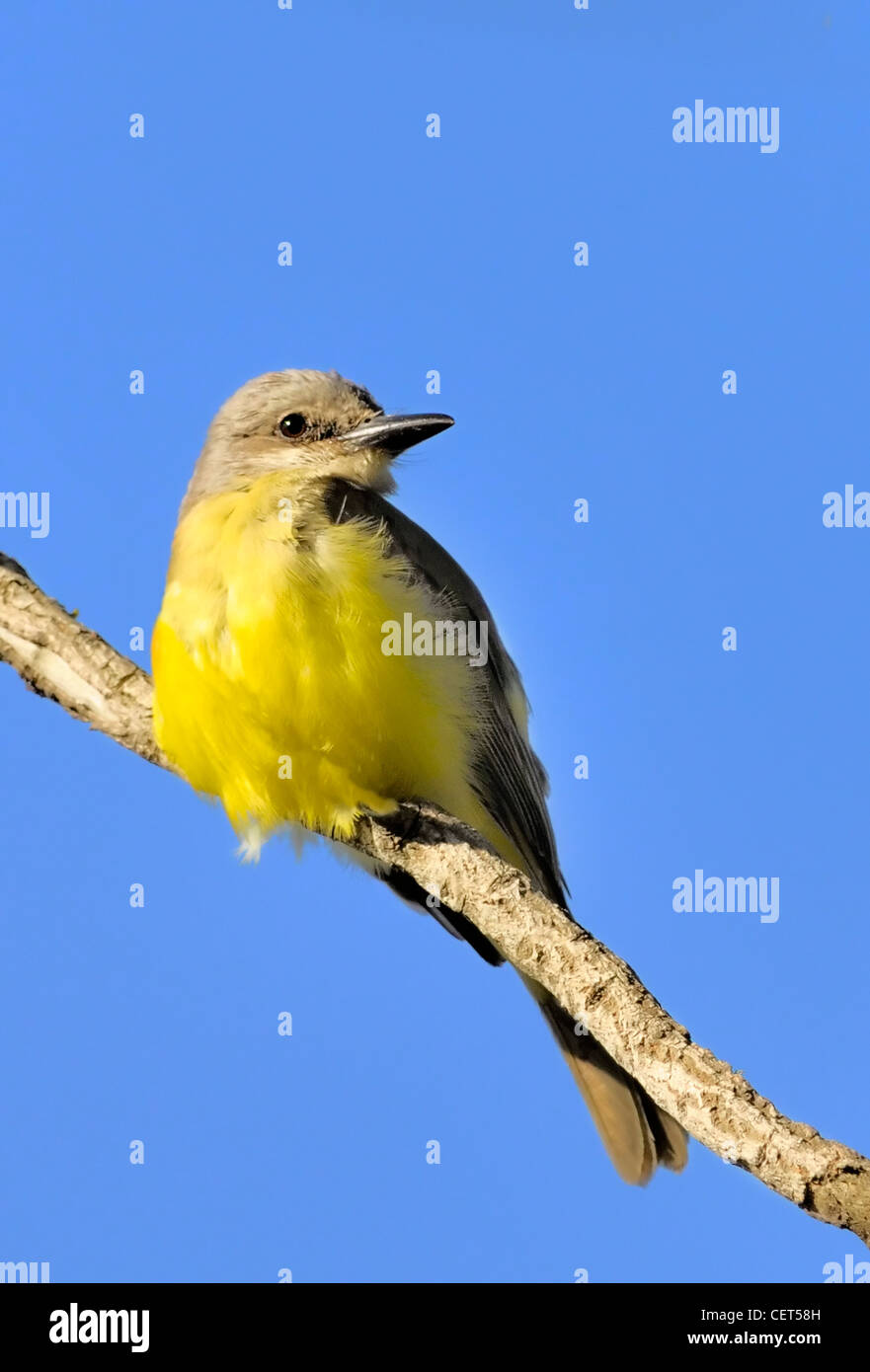 Tropical Kingbird - Tyrannus melancholicus - Stock Image