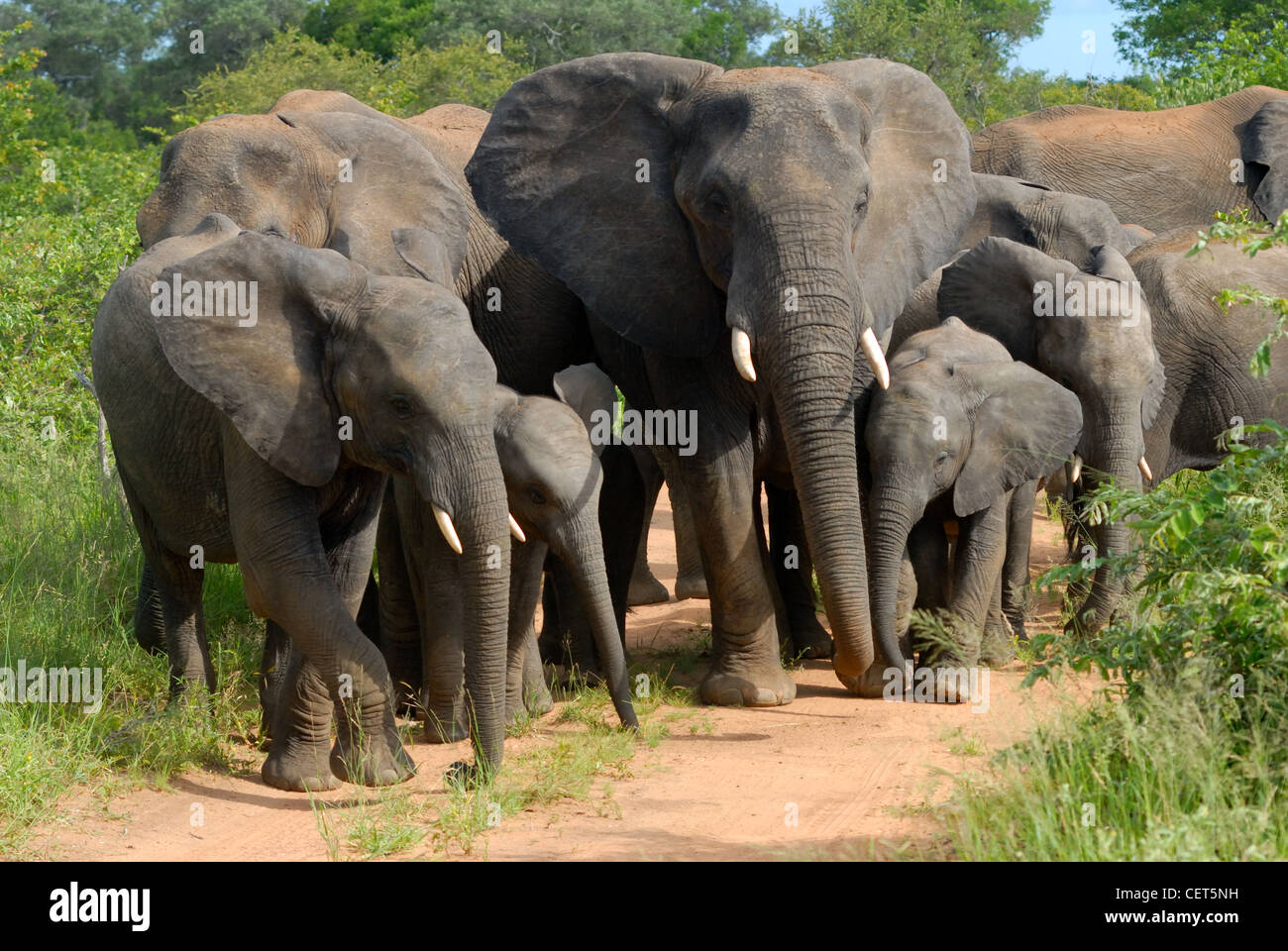 Herd of African Elephant - Stock Image