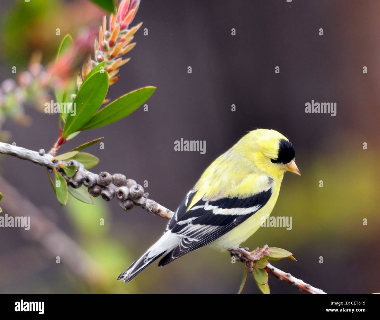 American Goldfinch - Carduelis tristis - Stock Image