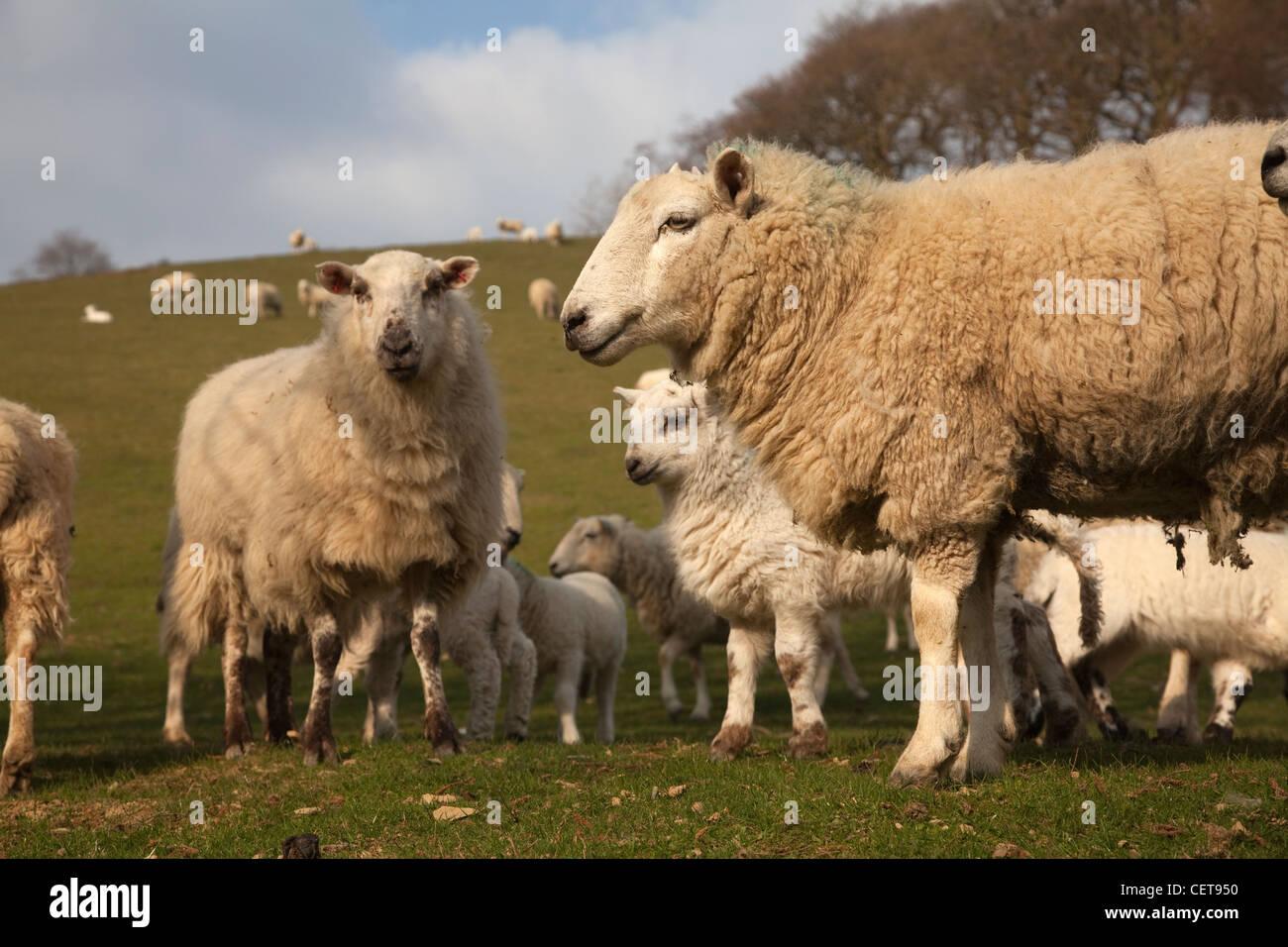 sheep spring lambs - Stock Image