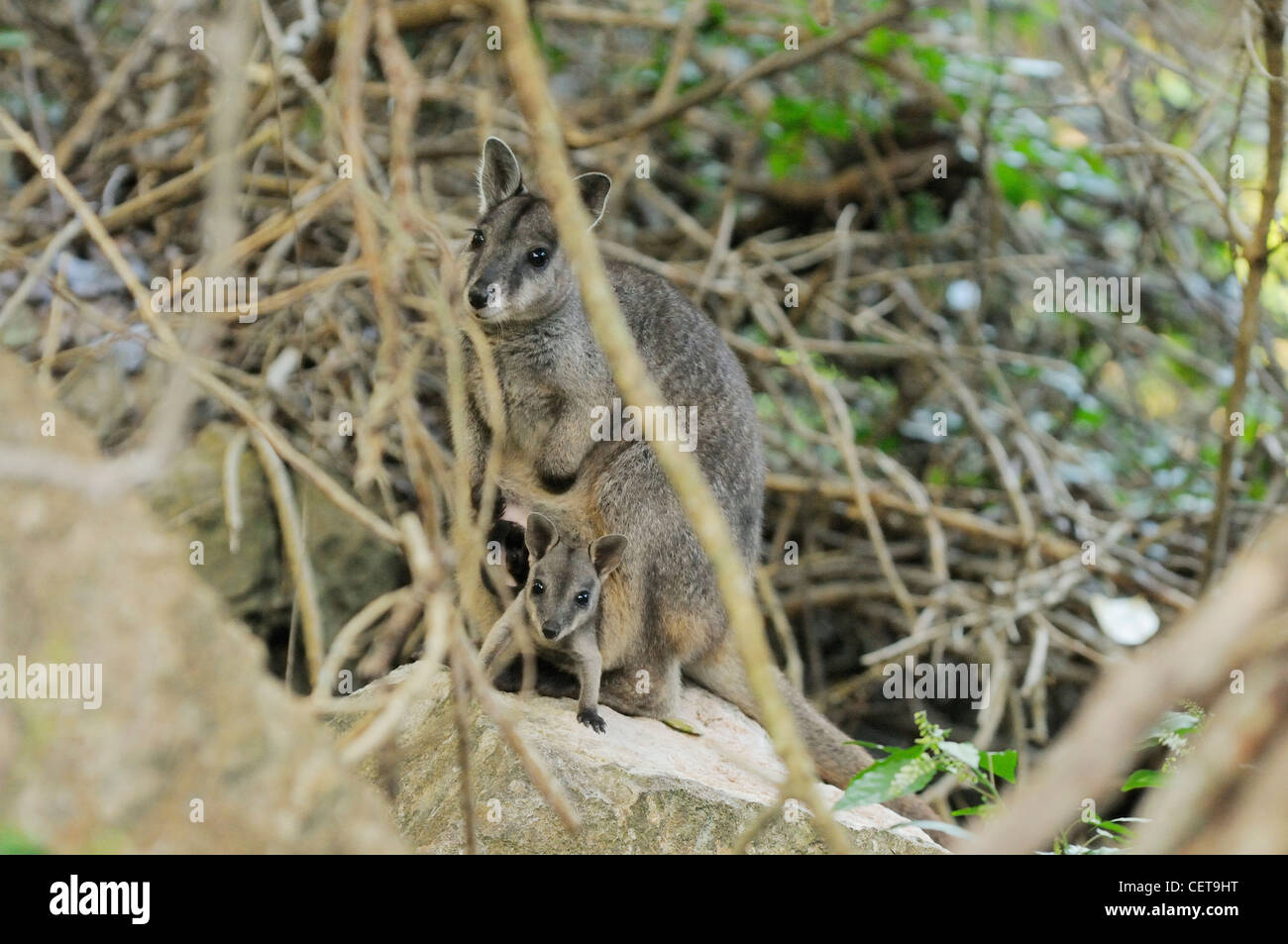 Unadorned Rock Wallaby Petrogale inornata Mother with joey in pouch Photographed in Queensland, Australia - Stock Image