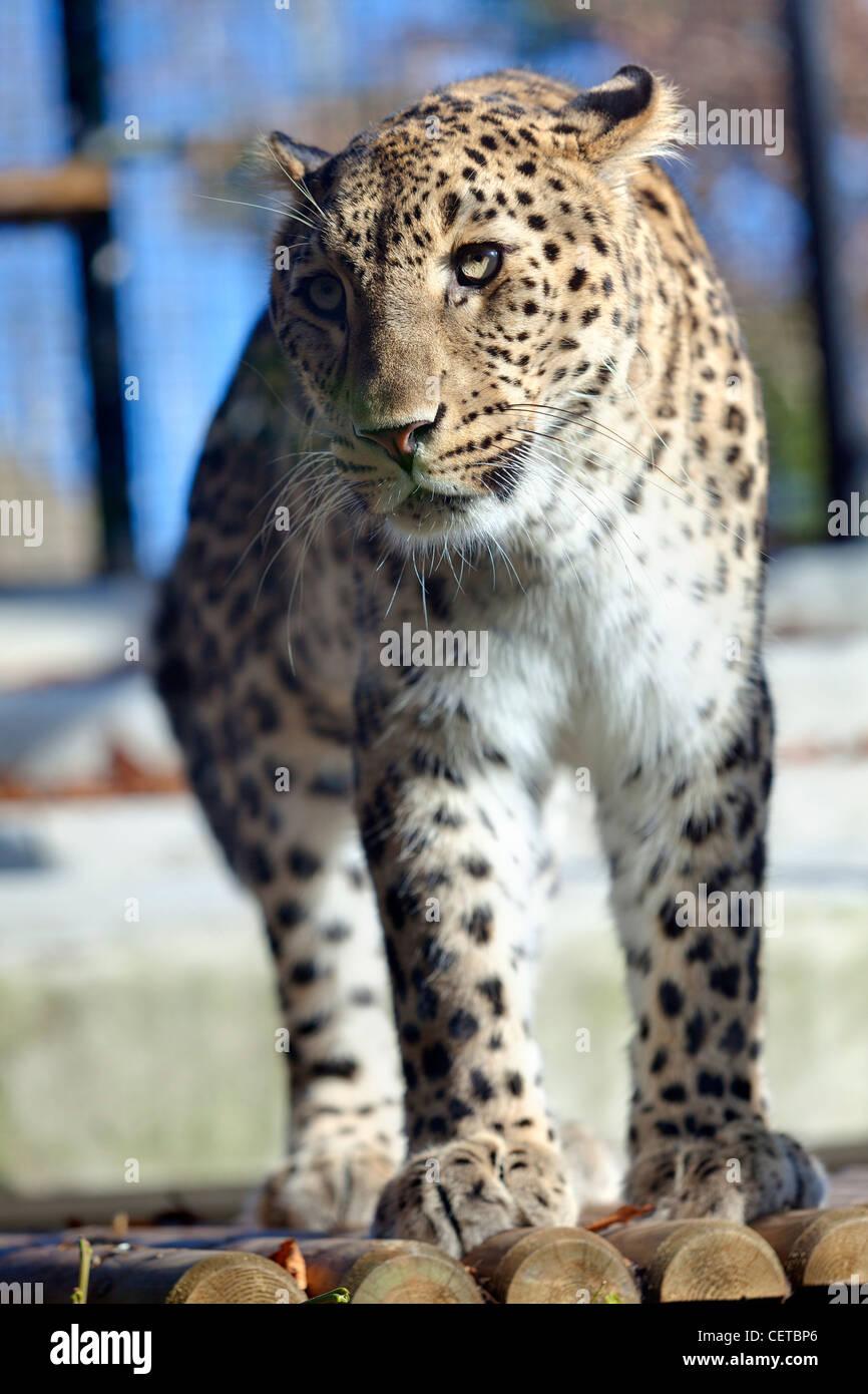 Iranian leopard - Stock Image