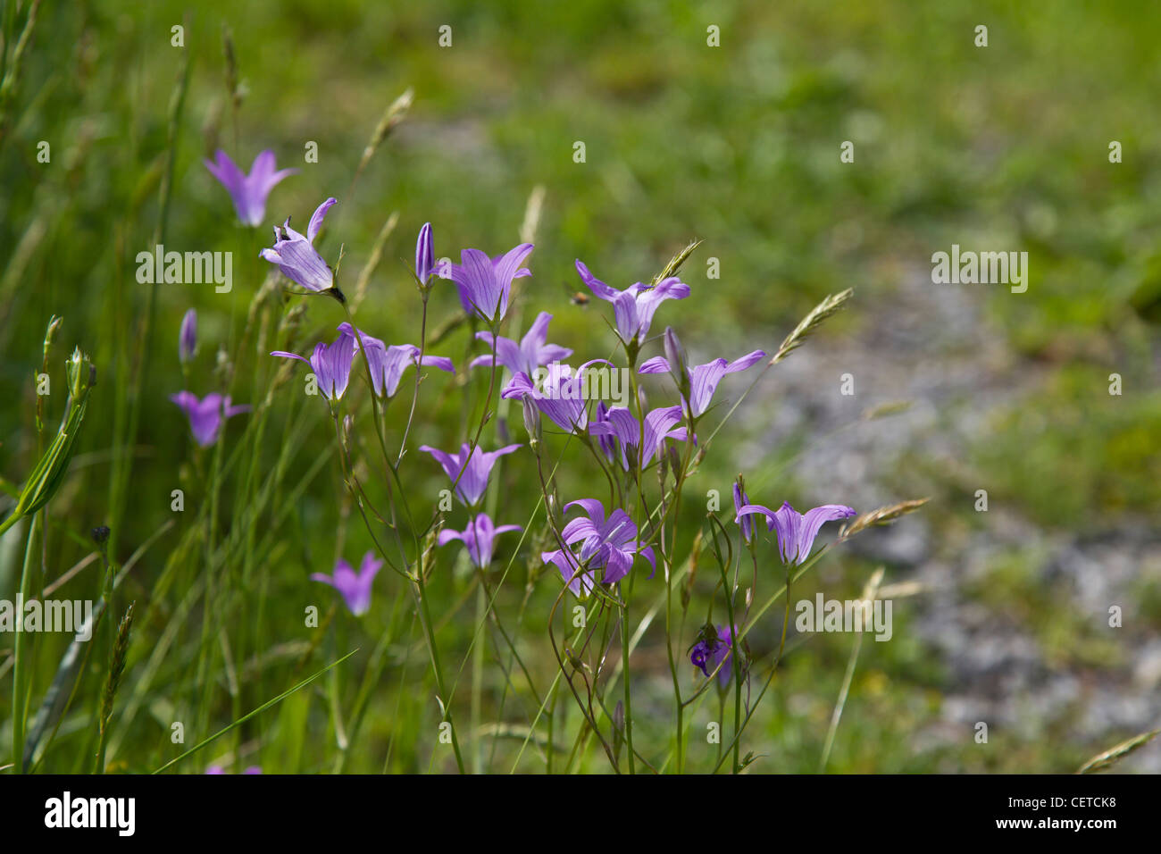 Glockenblume - Stock Image