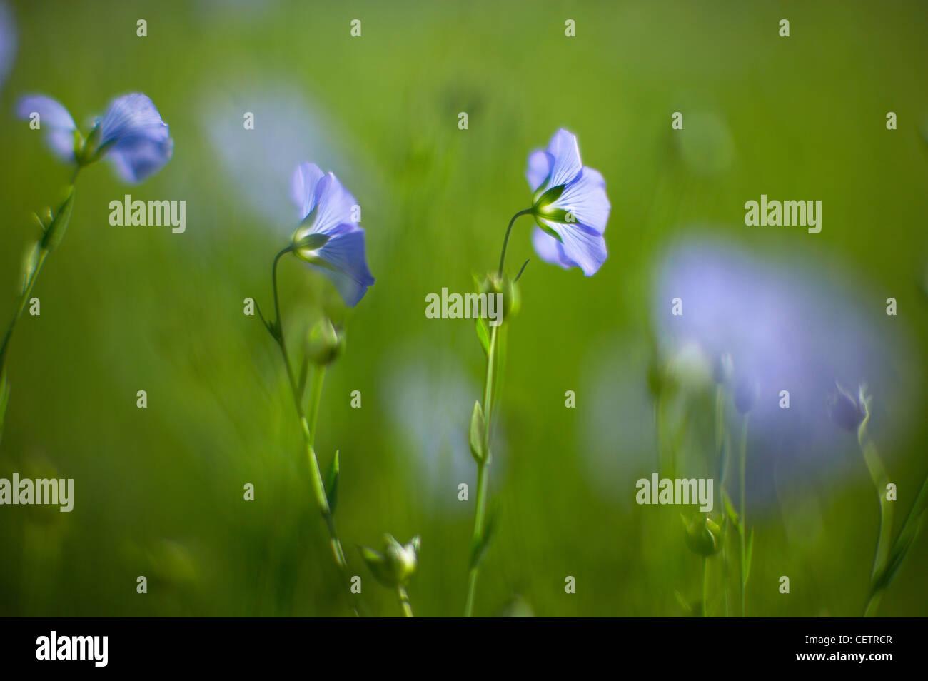 a field of flax nr Stourton Caundle, Dorset, England, UK - Stock Image