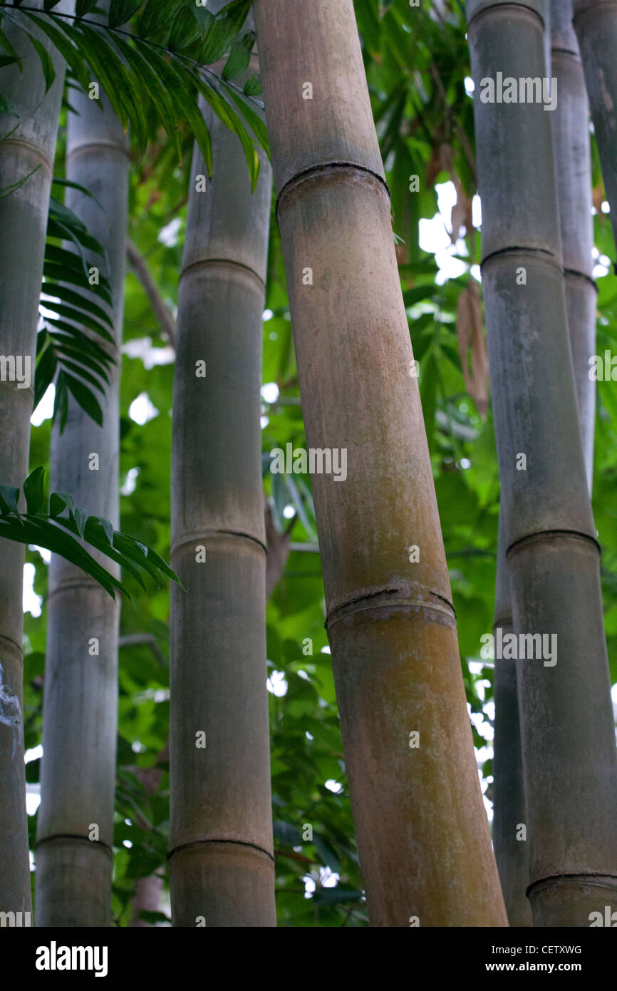 Giant Bamboo stems - Stock Image