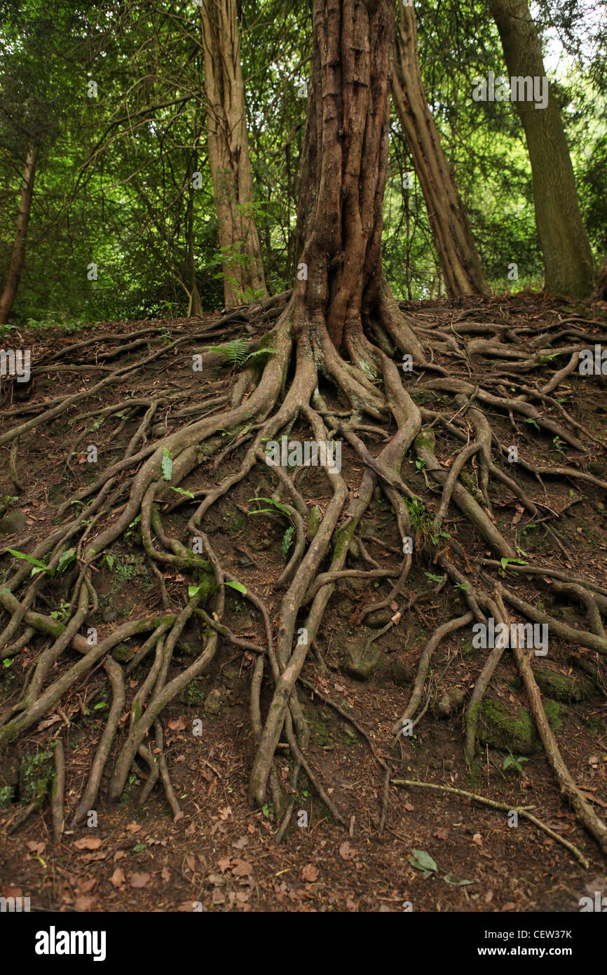 Exposed tree roots, Yorkshire, UK - Stock Image