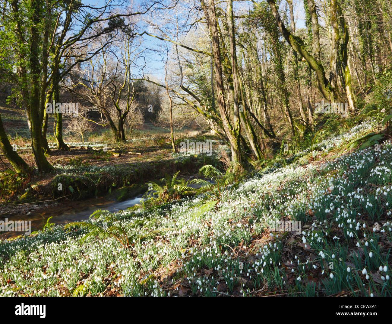 North Hawkwell Wood AKA Snowdrop Valley. Exmoor National Park. Somerset. England. UK. - Stock Image