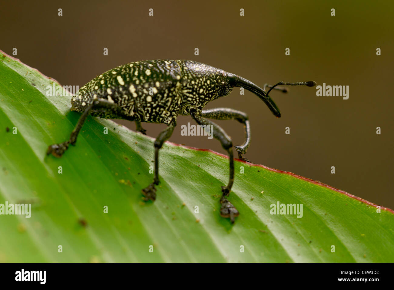 spotted weevil from rainforest, Selva Verde, Costa Rica Stock Photo