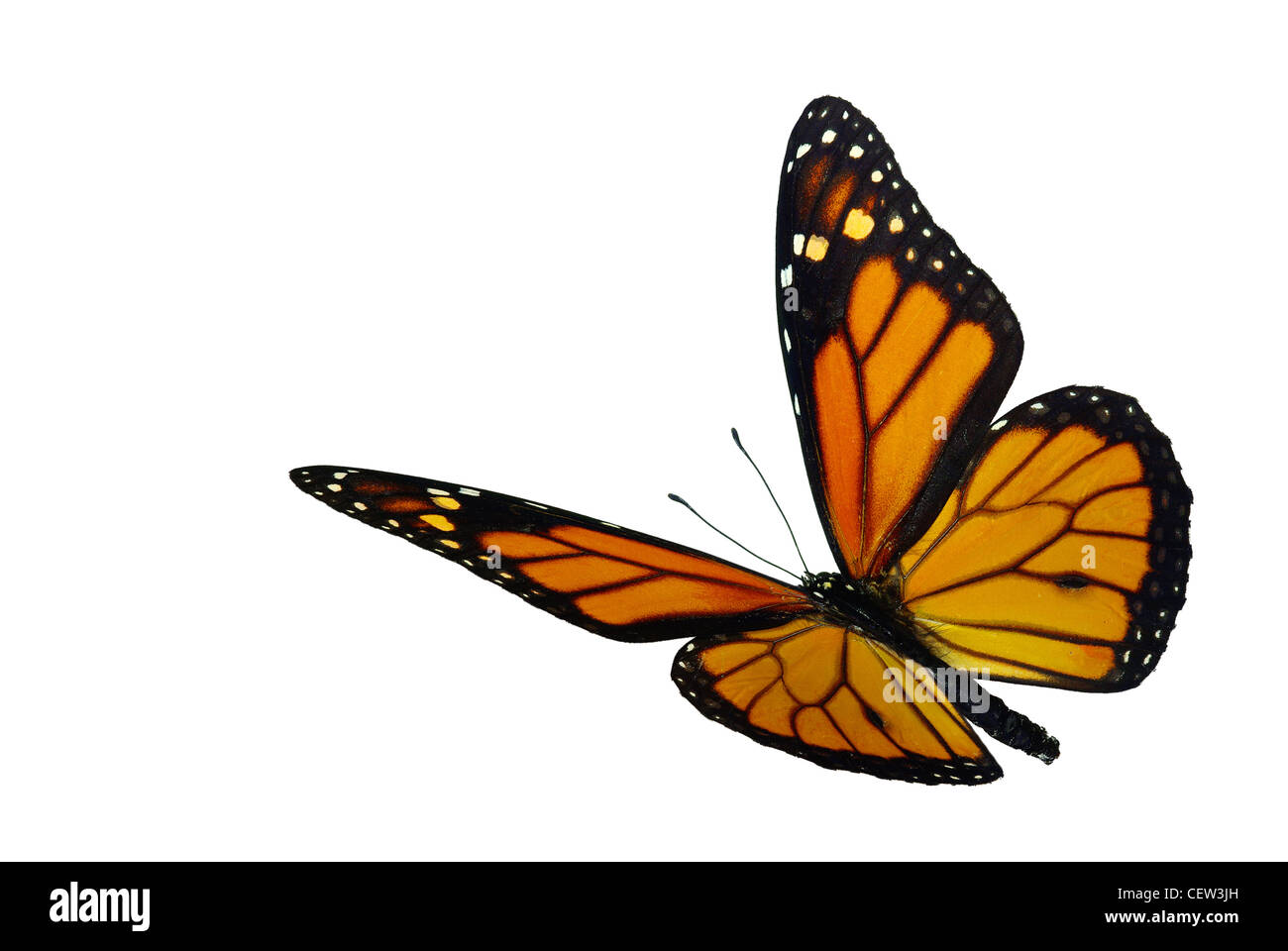 Monarch (Danaus plexippus), a migrant butterfly - Stock Image