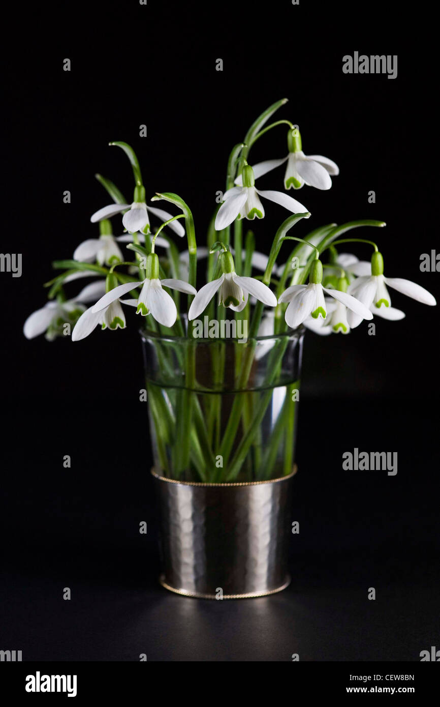Galanthus nivalis. Snowdrops in a glass vase on a black background. - Stock Image