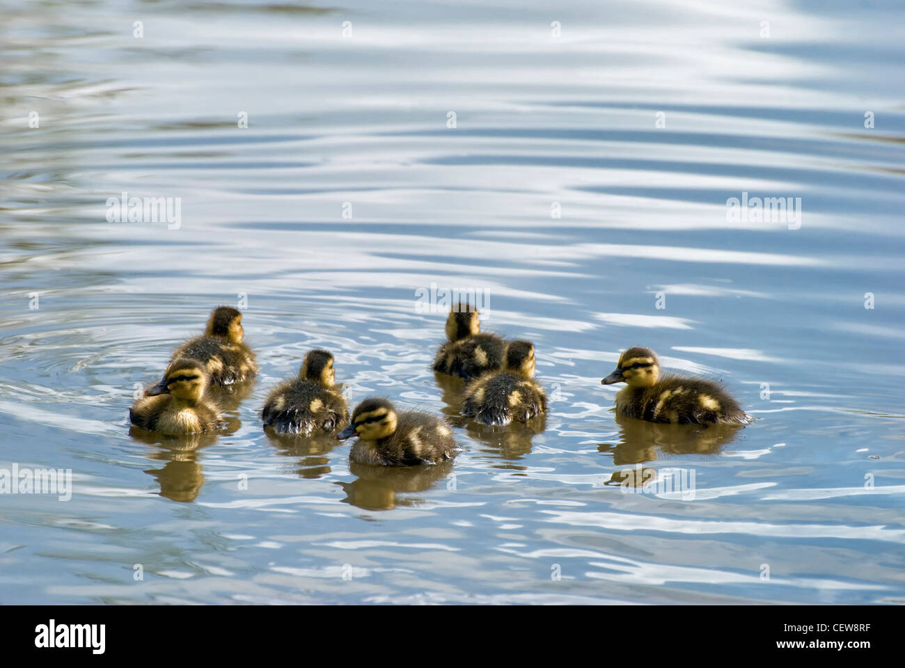 Group of seven mallard ducklings swimming in pond in Barrs Court, Bristol, UK - Stock Image