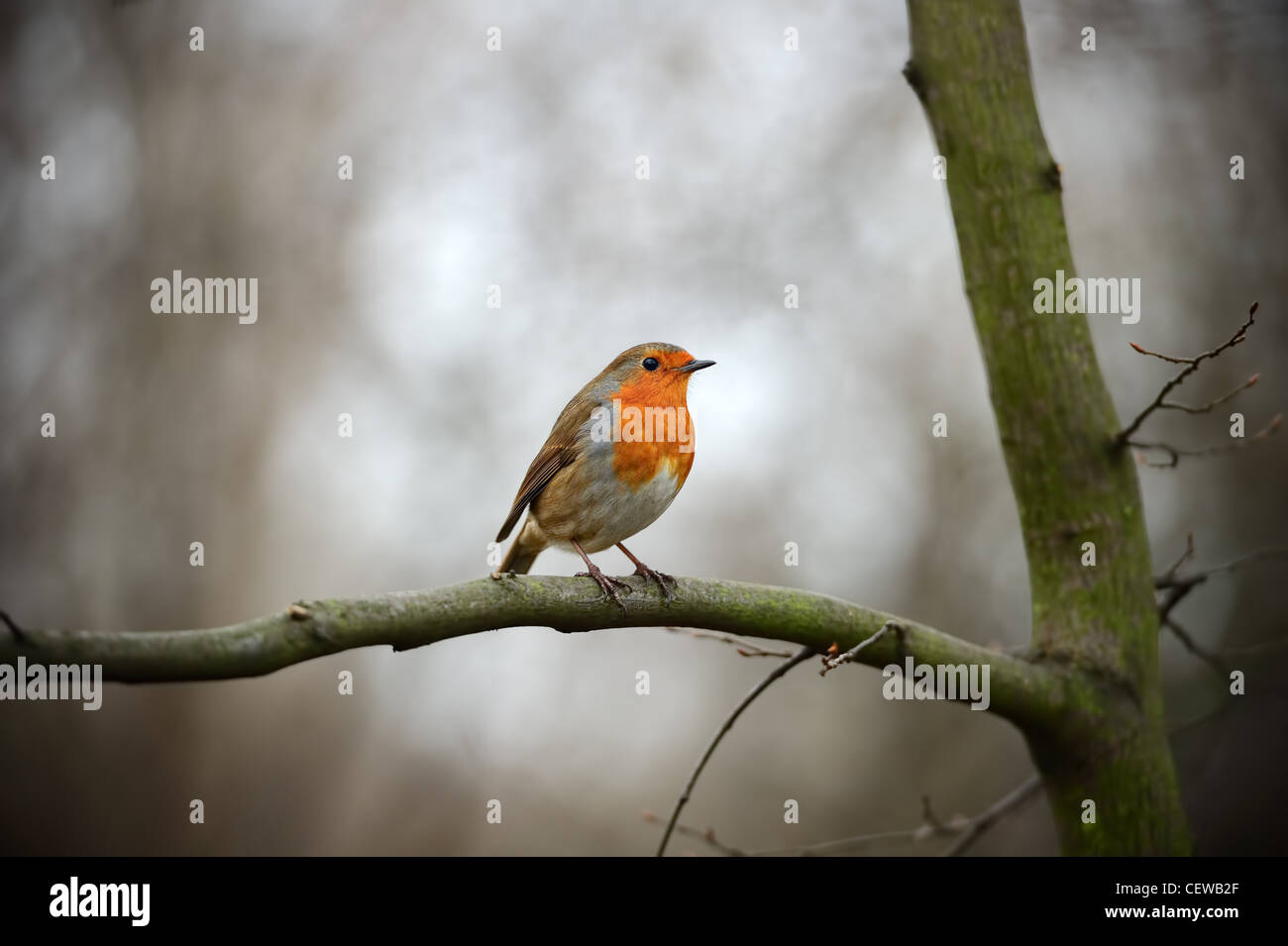 European Robin Redbreast (erithacus rubecula melophilus) perched on a branch - Stock Image