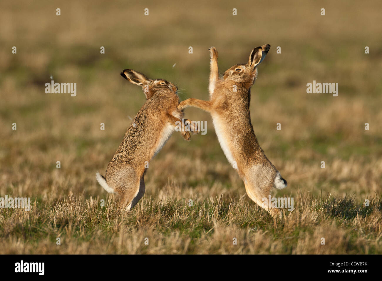Pair of Brown Hares (Lepus europaeus) boxing with fur flying, Norfolk, England - Stock Image