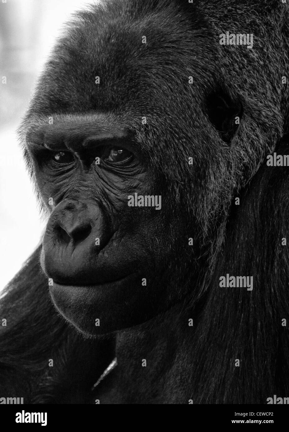 Gorilla in contemplation - Stock Image