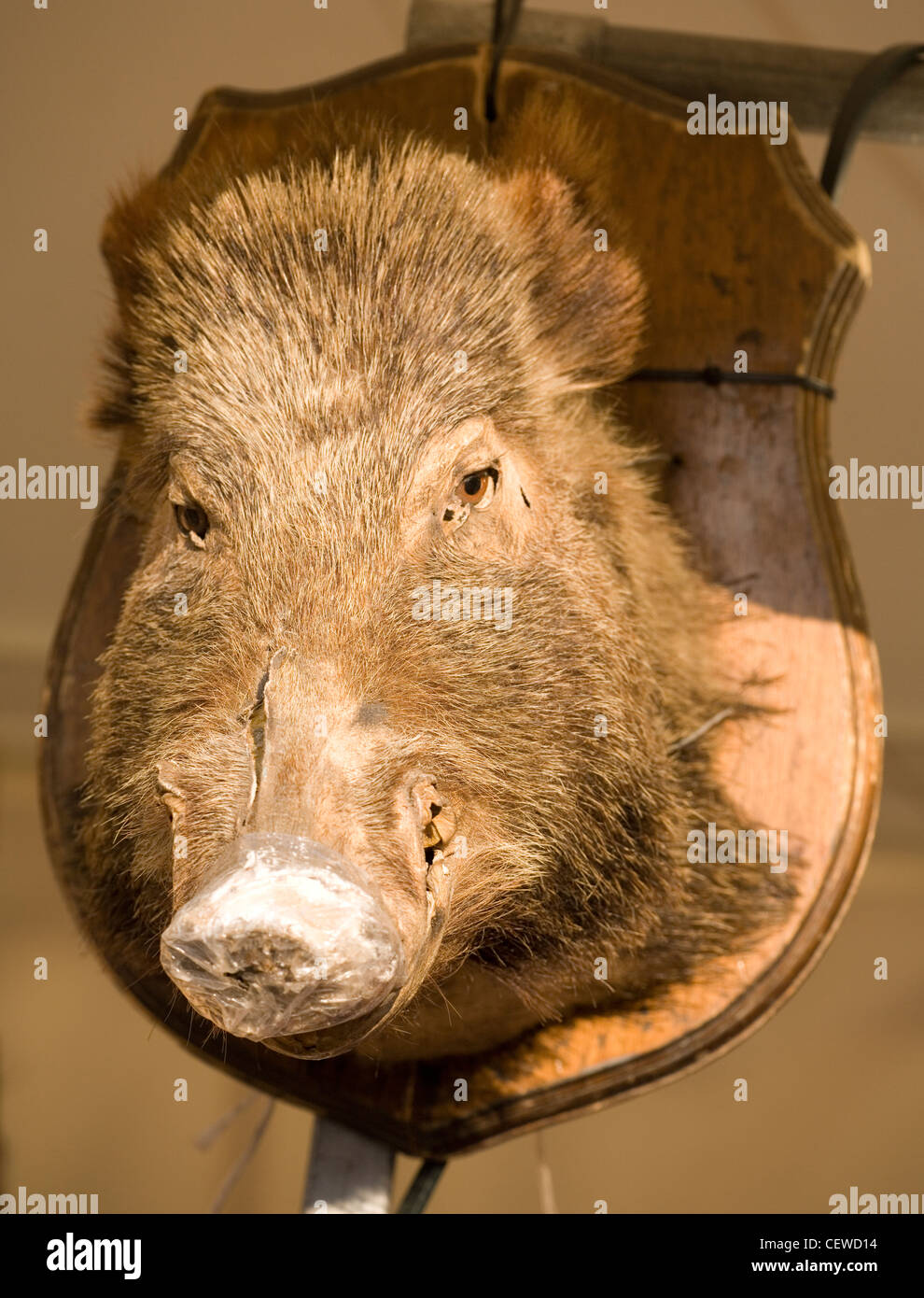Wild boars head on a plaque - Stock Image