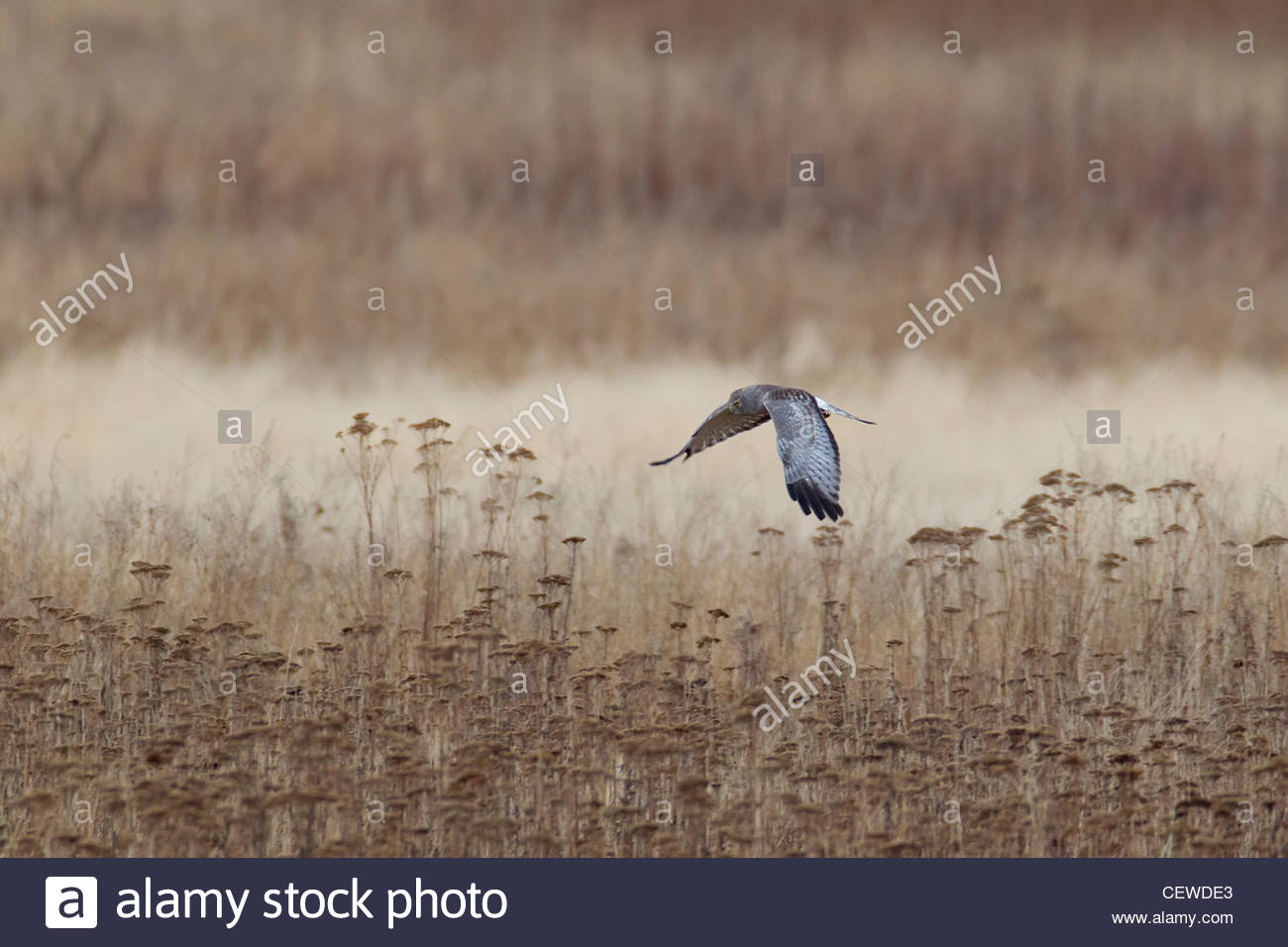 A male northern harrier (Circus cyaneus) hunts in a field near Boundary Bay in southern British Columbia, Canada. - Stock Image