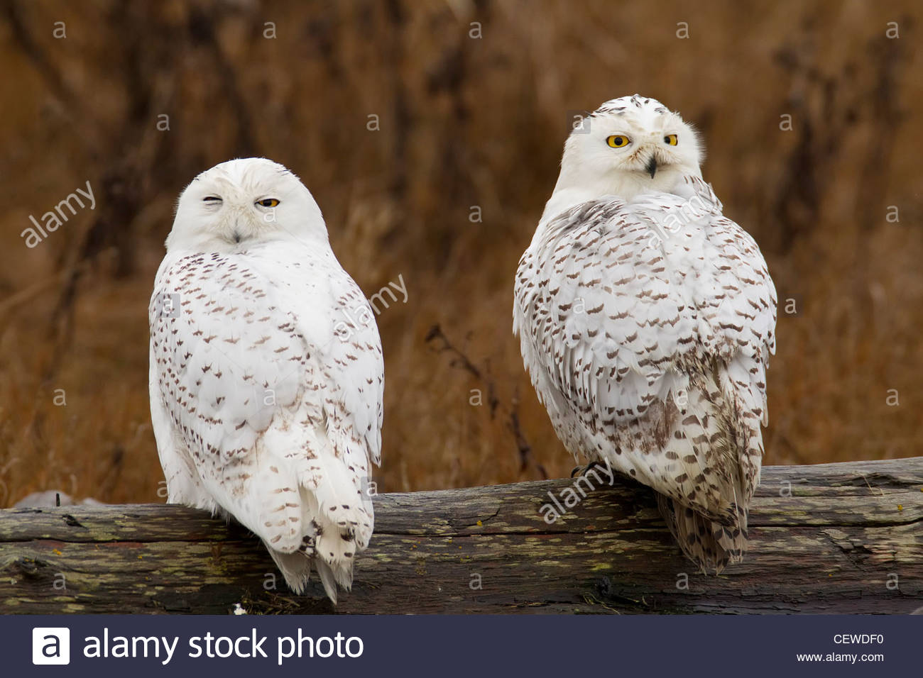 Two snowy owls (Bubo scandiacus, formerly Nyctea scandiaca) rest together on a log near Boundary Bay, British Columbia, - Stock Image