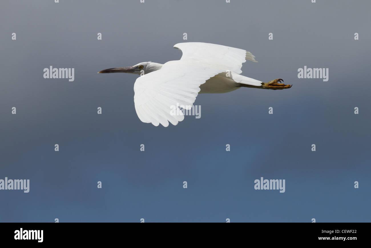 Eastern reef egret, egreta sacra - Stock Image