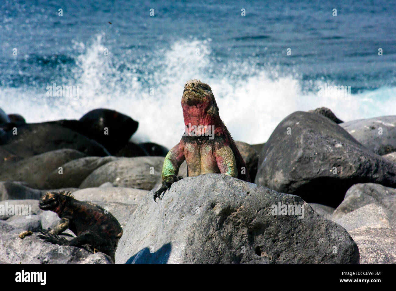 Marine iguana in front of crashing waves on rocks in the Galapagos Islands - Stock Image