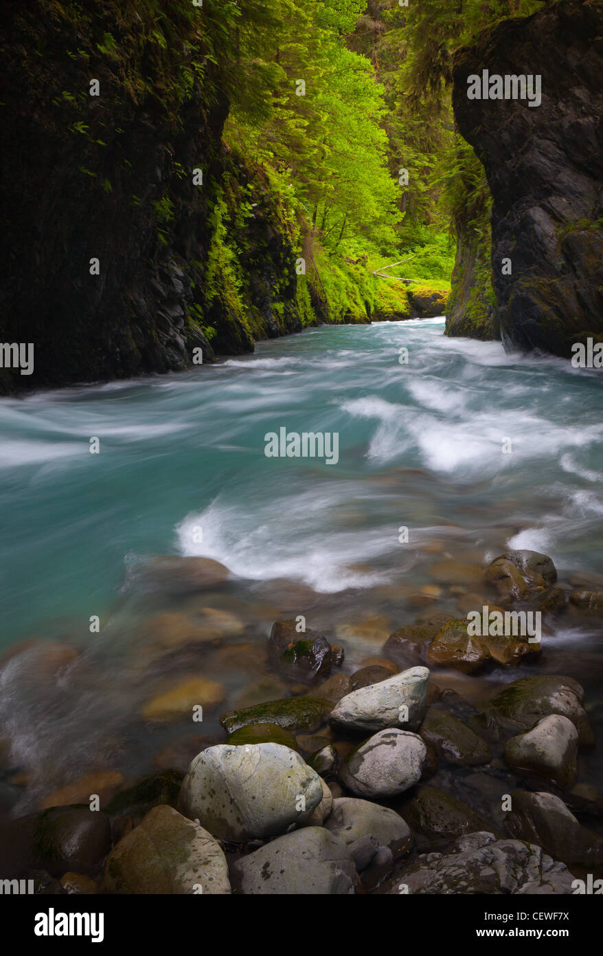 Quinault River in Olympic National Park, Washington state - Stock Image