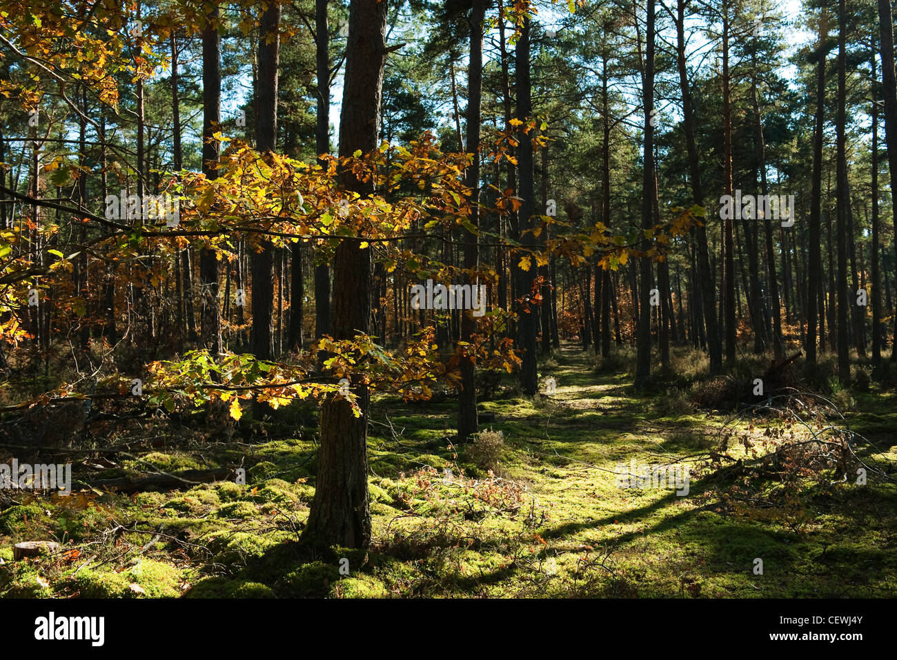 Woods in autumn hues - Stock Image
