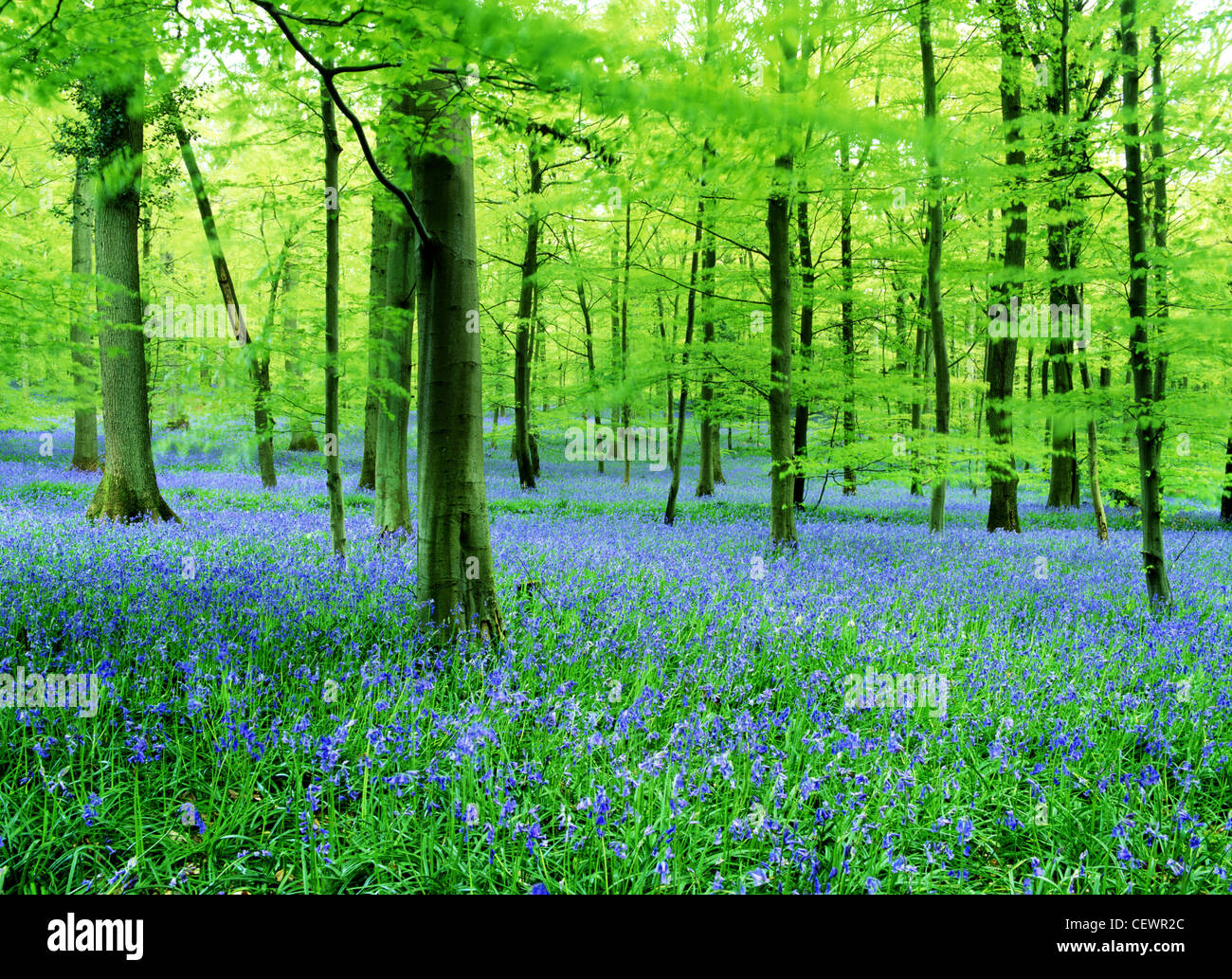 A carpet of bluebells. - Stock Image