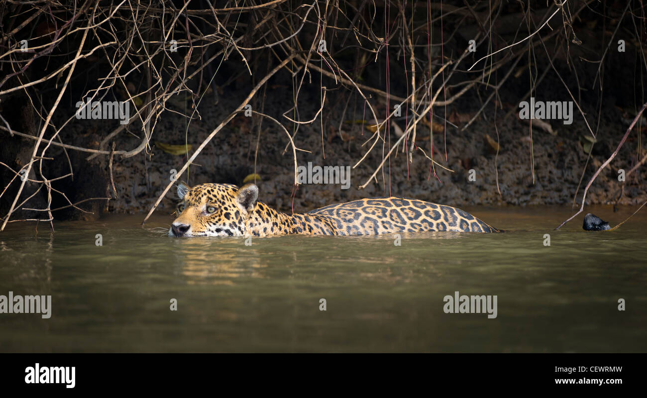 Wild male Jaguar swimming along the margins of the Piquiri River, a tributary of Cuiaba River, Northern Pantanal, - Stock Image