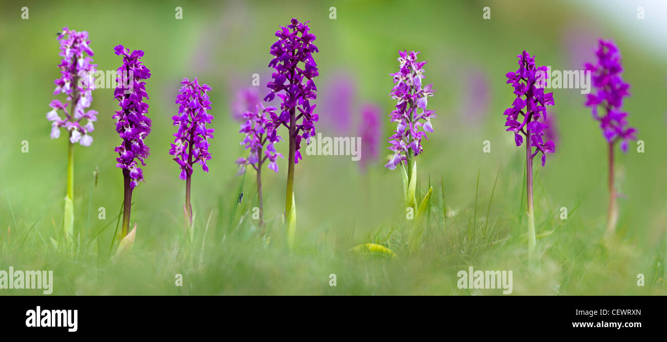 Meadow of Early Purple Orchids (Orchis mascula). Cressbrook Dale, Peak District, Derbyshire, UK (Digitally Stitched - Stock Image