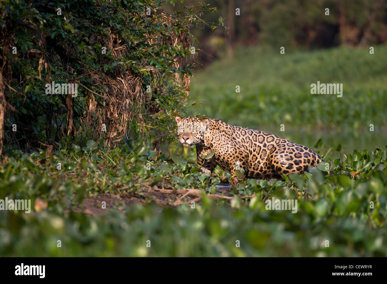 Wild male Jaguar emerging from Water Hyacinth at the edge of a tributary of Cuiaba River, Northern Pantanal, Brazil. - Stock Image