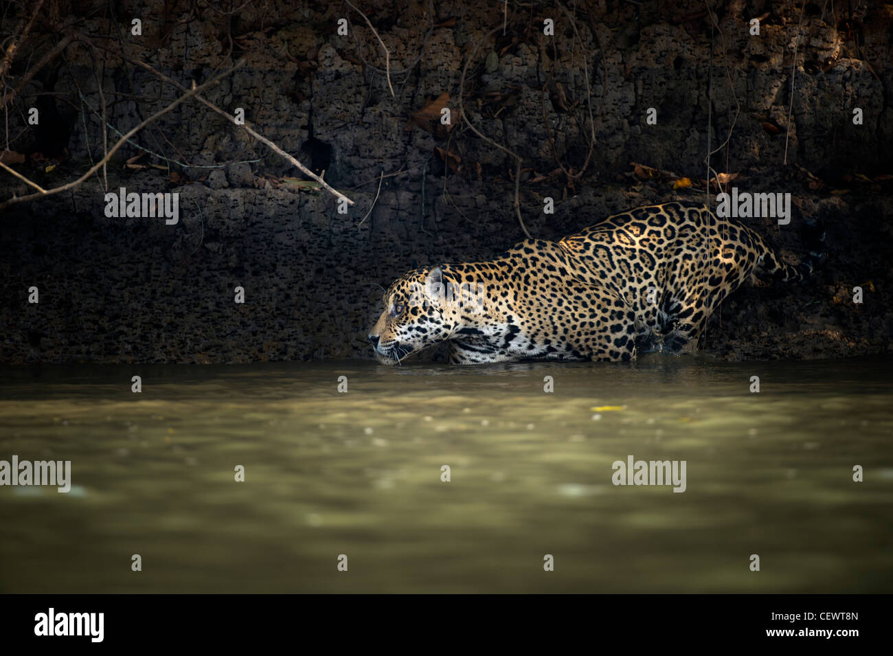Wild male Jaguar (Panthera onca palustris) entering the Piquiri River, a tributary of Cuiaba River, Northern Pantanal, - Stock Image