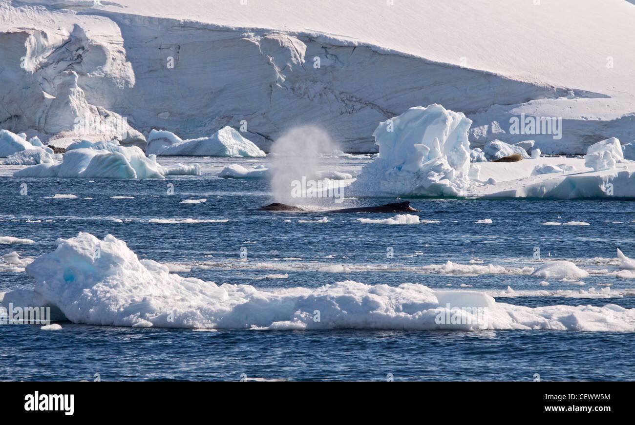 Pair of Humpback Whales (megaptera novaeangliae), Paradise Bay, Antarctic Peninsula - Stock Image