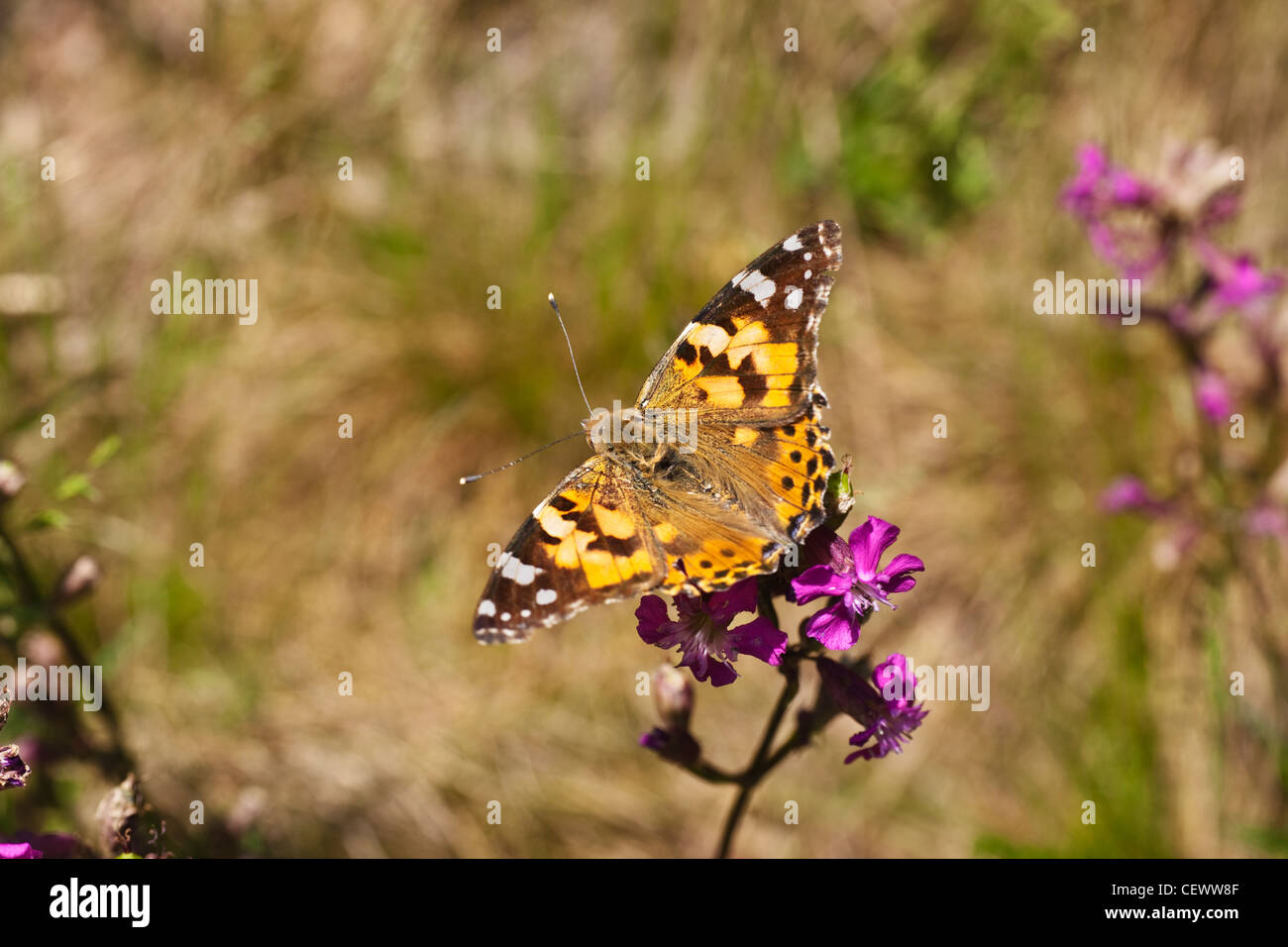 Detailansicht eines Distelfalters | Detail photo of a Painted Lady - Stock Image