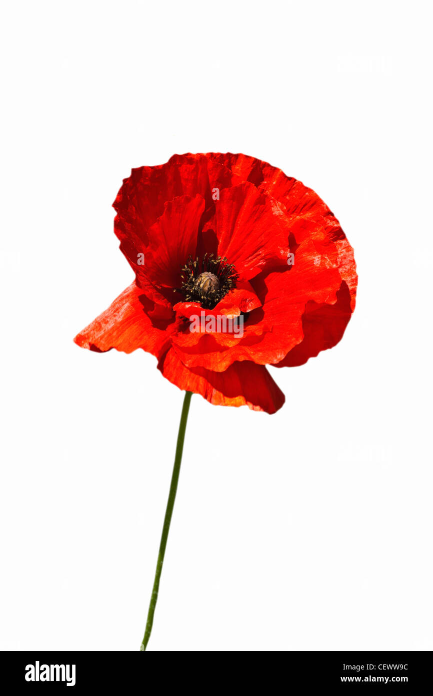 Detailansicht einer Mohnblume | Detail photo of a poppy - Stock Image