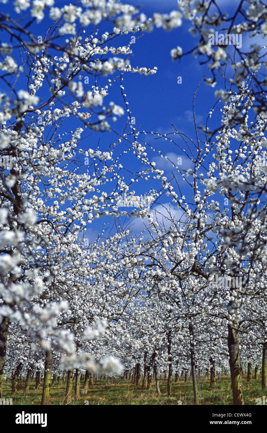 Fruit trees in blossom at Glewstone. Herefordshire currently makes around half of the cider and perry consumed in - Stock Image