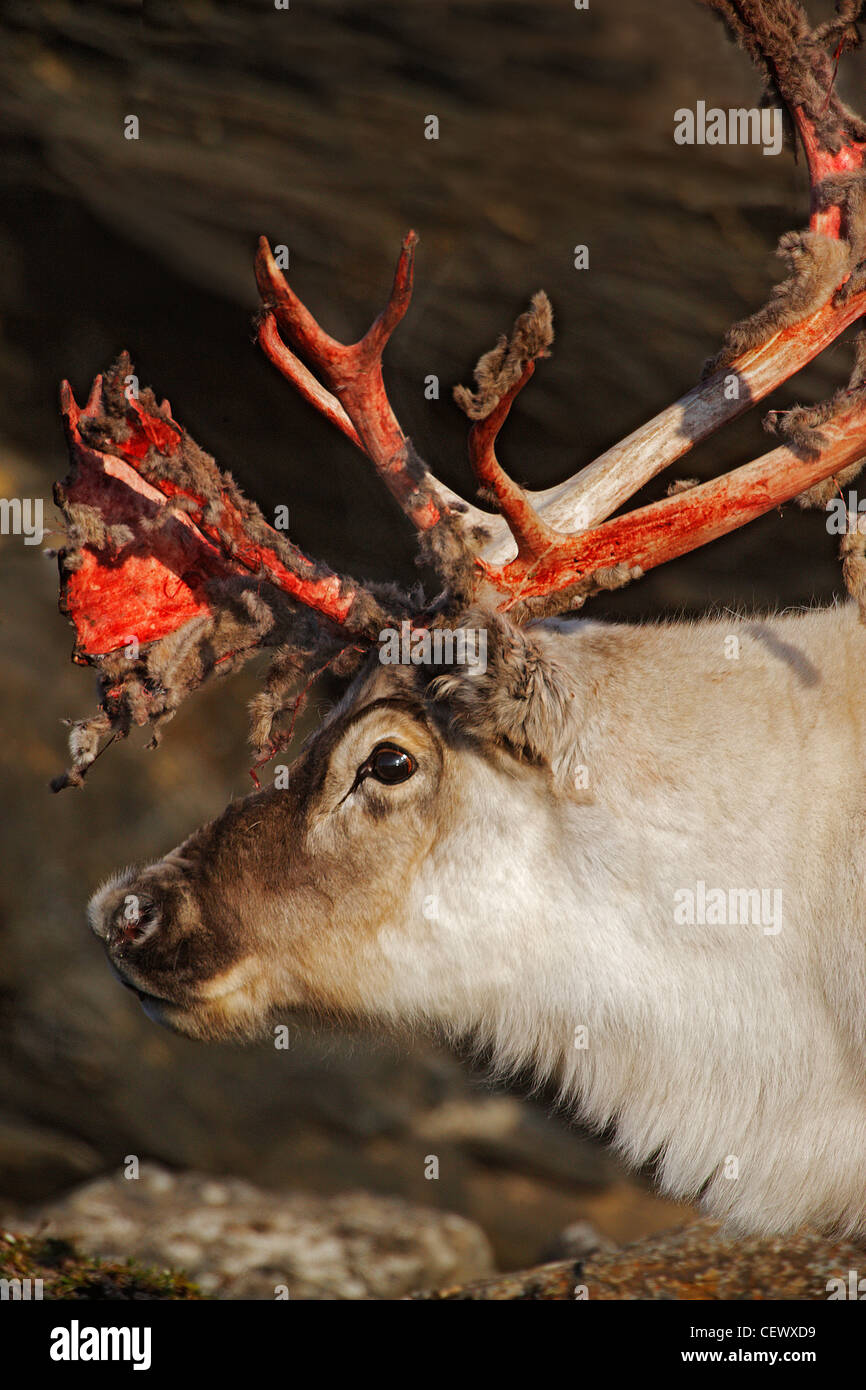 Reindeer with bloody antlers, September, Svalbard, Norway - Stock Image