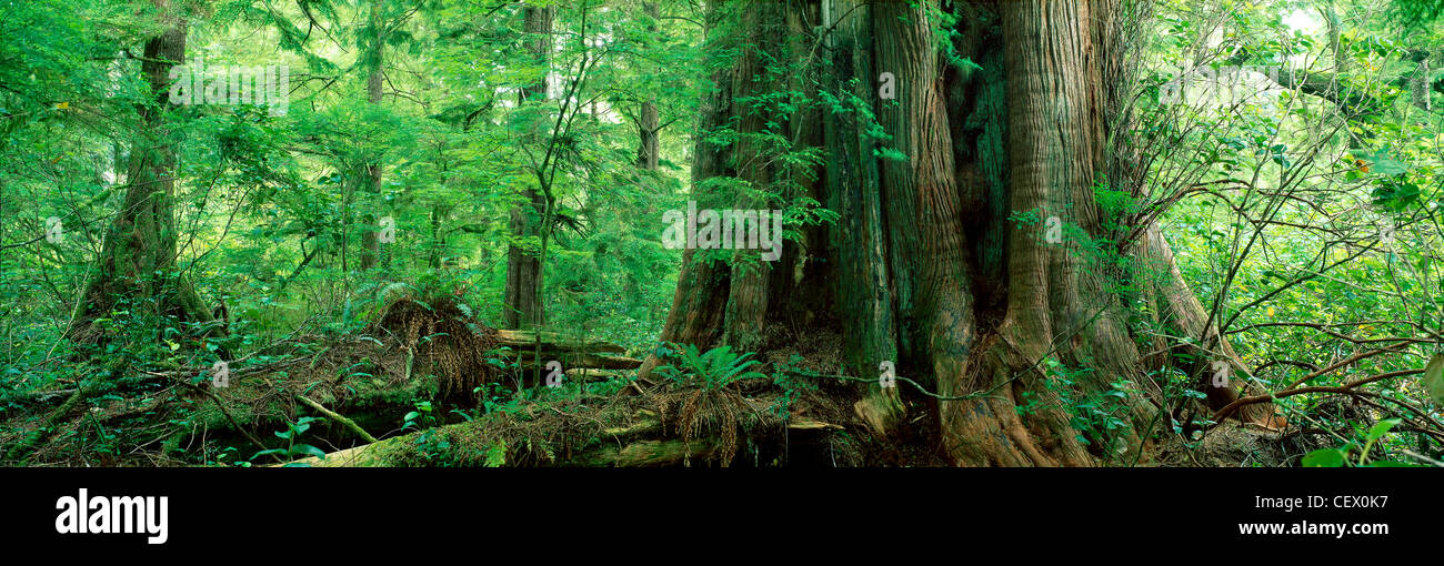 2000 year old Cedar Tree, Temperate Rain Forest, Meares Island, Clayoquot Sound, Vancouver Island, British Columbia, - Stock Image