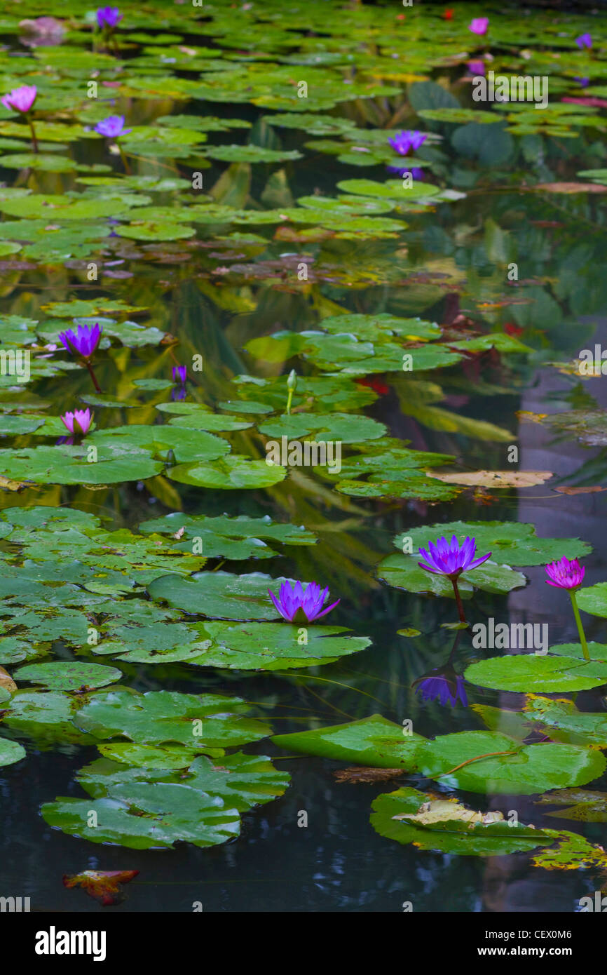 water lilies in a pond - Stock Image